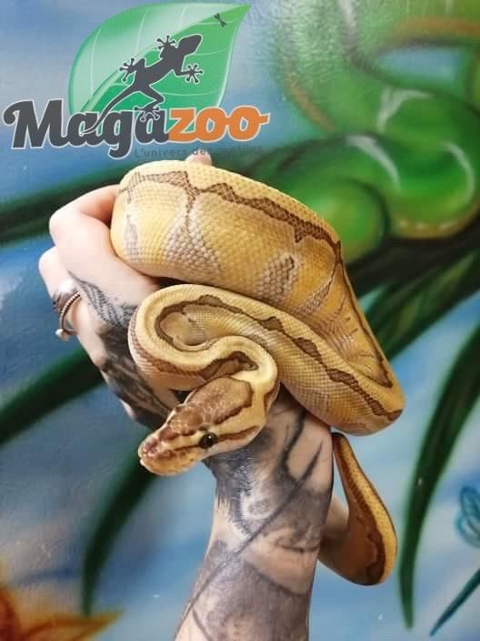 Magazoo Python Royal Butter Enchi Pinstripe Femelle Juvénile