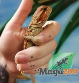Magazoo Dragon Barbu Leatherback orange translucide  femelle  Bébé