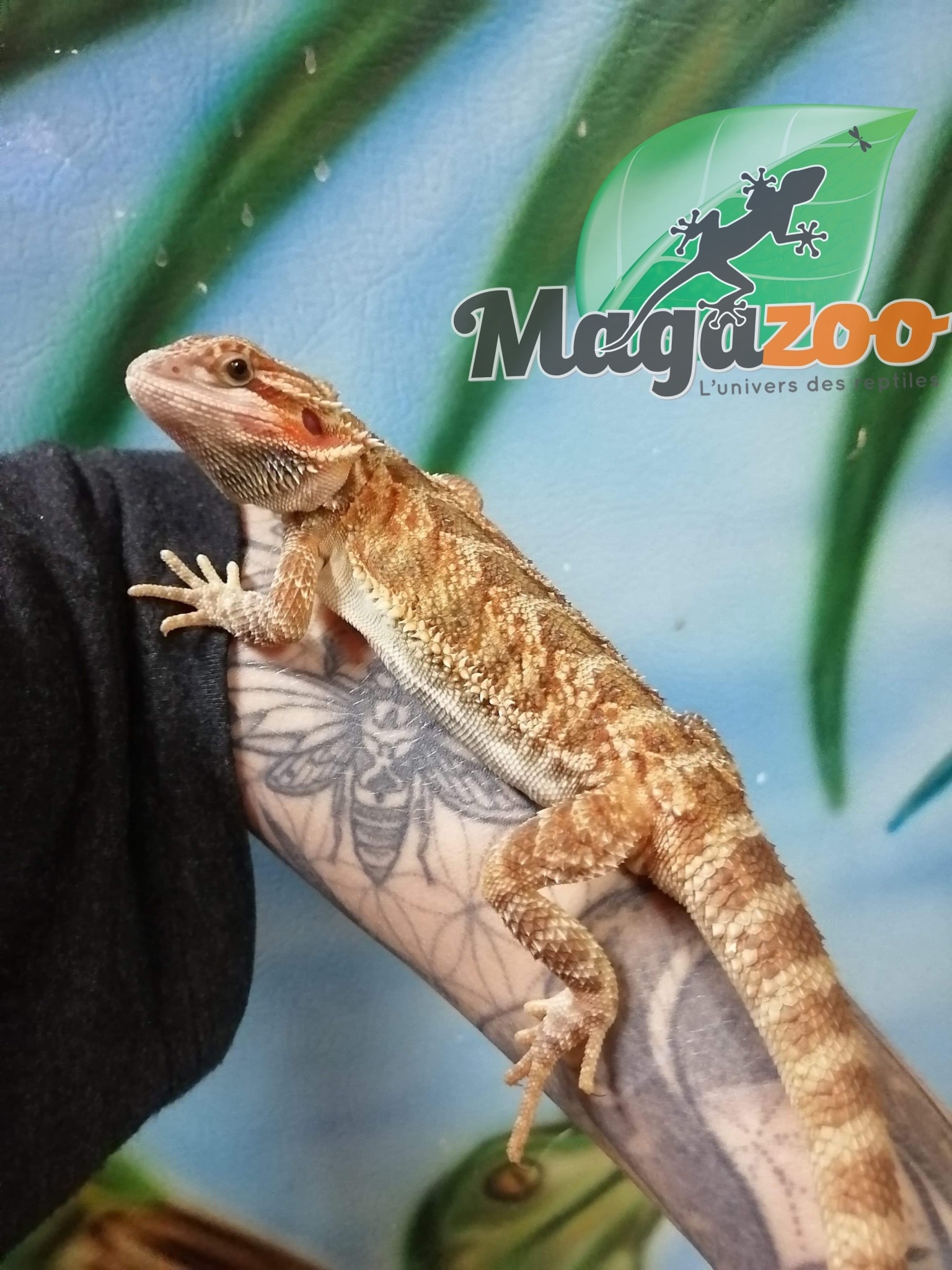 Magazoo Dragon barbu hypo leatherback orange Giant mâle