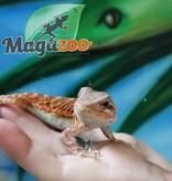 Magazoo Dragon Barbu Orange Hypo Translucide Femelle