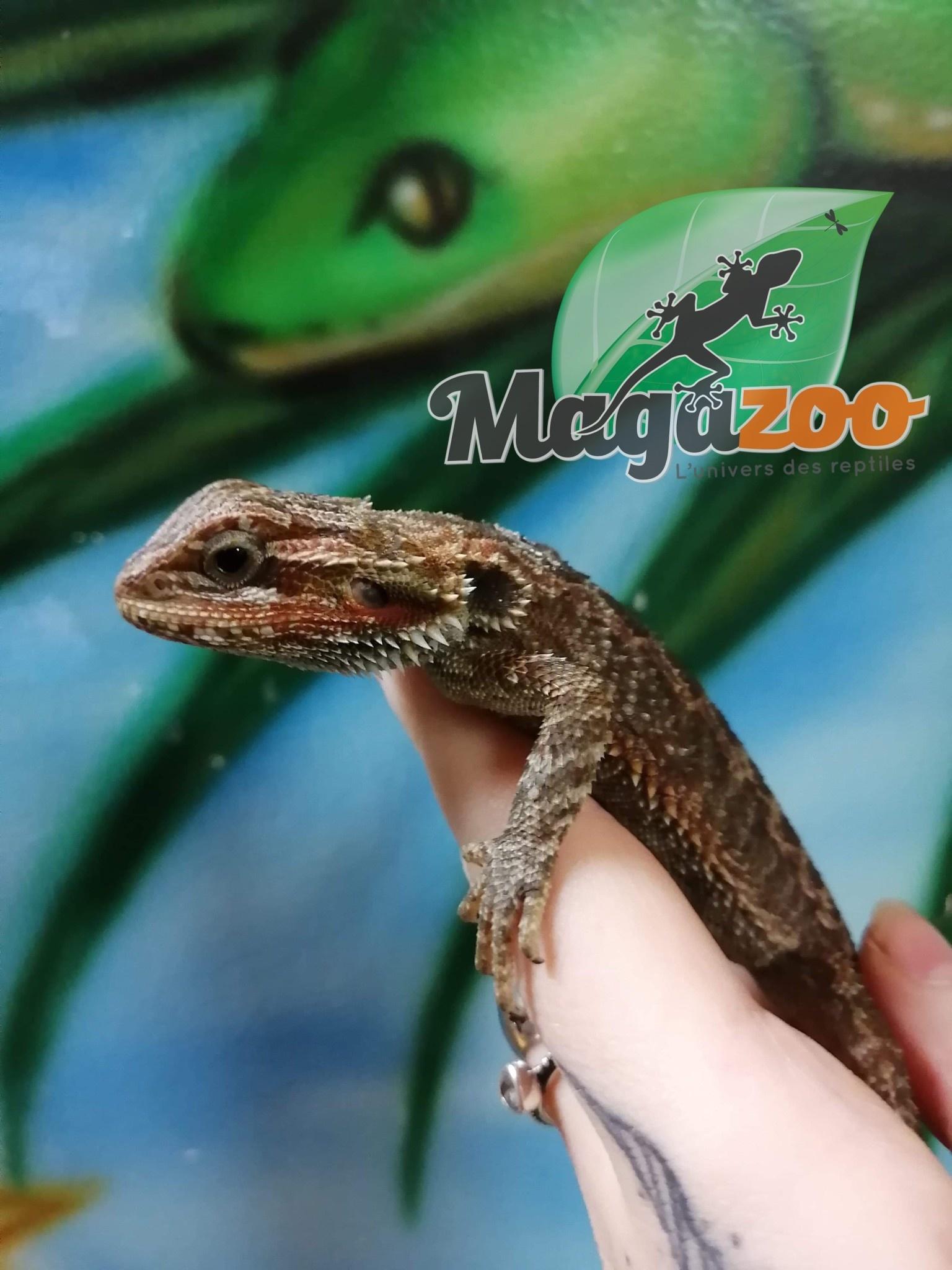 Magazoo Dragon barbu hypo translucide géant  femelle