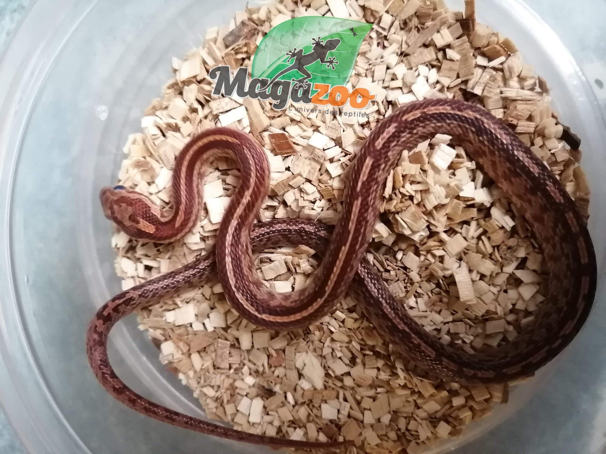 Magazoo Serpent des Blés Tessera Stripe Mâle