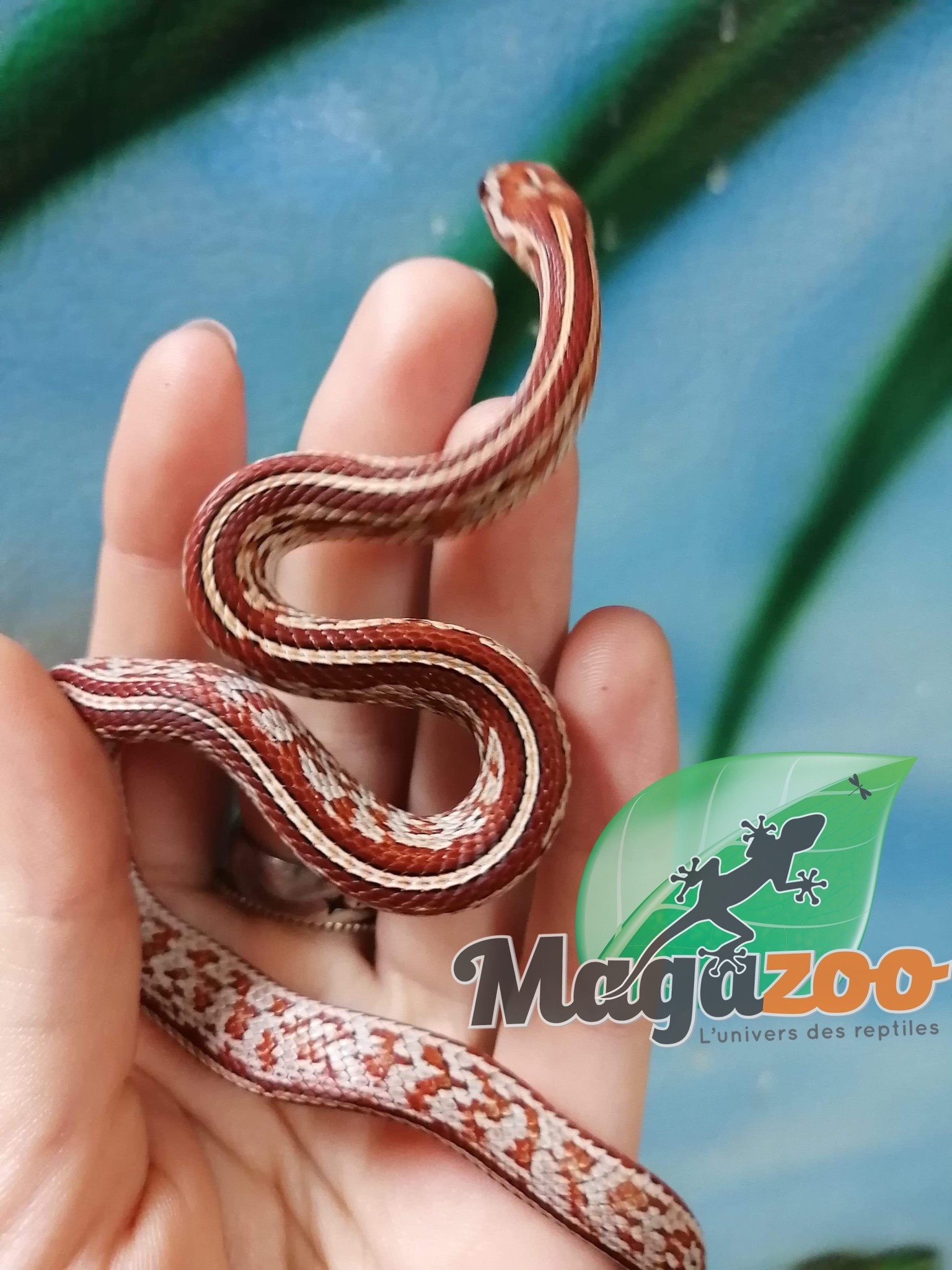 Serpent des Blés Tessera Hypo Stripe Femelle Bébé