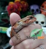 Magazoo Dragon Barbu Leatherback orange translucide  femelle  Bébé  Adoption - 2ième chance