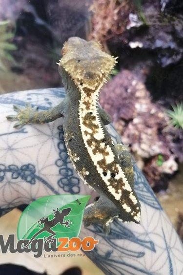 Magazoo Gecko à Crête Arlequin Pinstripe Mâle (sans queue)