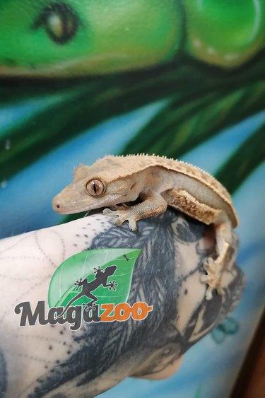 Magazoo Gecko à Crête Arlequin Femelle Juvénil (sans queue) Adoption - 2ième chance