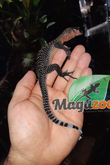 Magazoo Varan à gorge pêche Male (Peach throat monitor.)/Varanus jobiensis