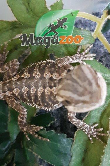 Magazoo Dragon barbu bébé femelle