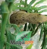 Magazoo Gecko à tête jaune femelle