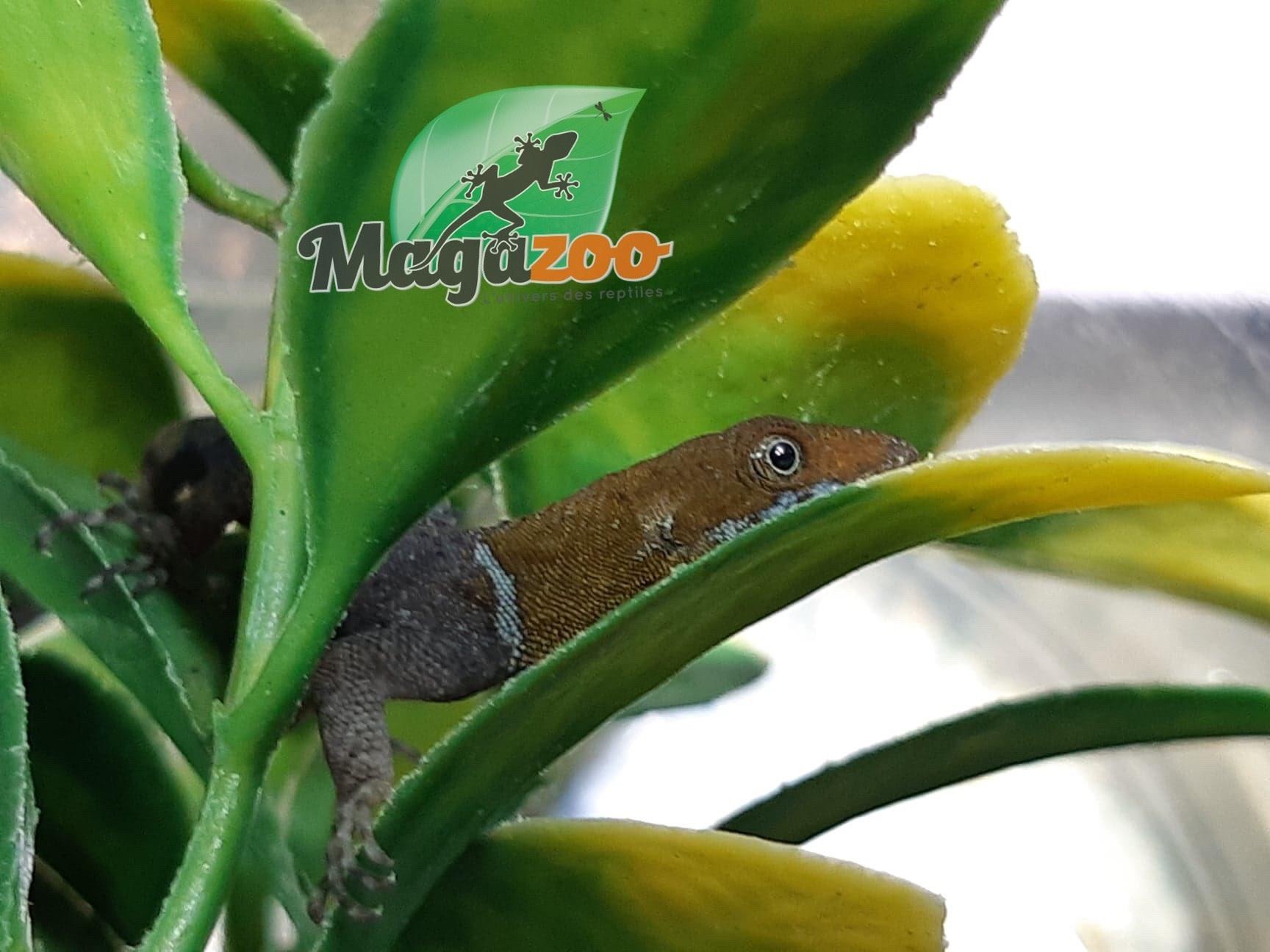 Magazoo Gecko à tête jaune Mâle