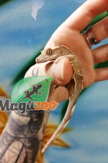 Magazoo Gecko à Crête Flame Mâle Bébé