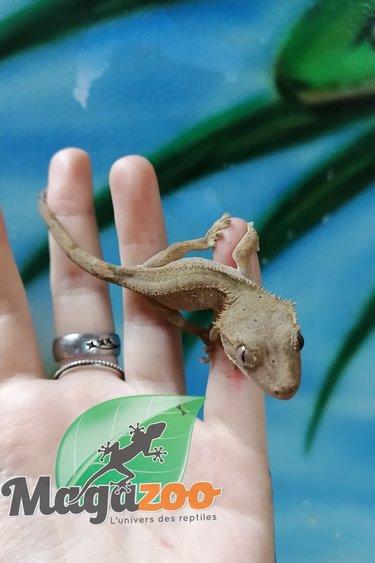 Magazoo Gecko à Crête Dalmatien Mâle Bébé