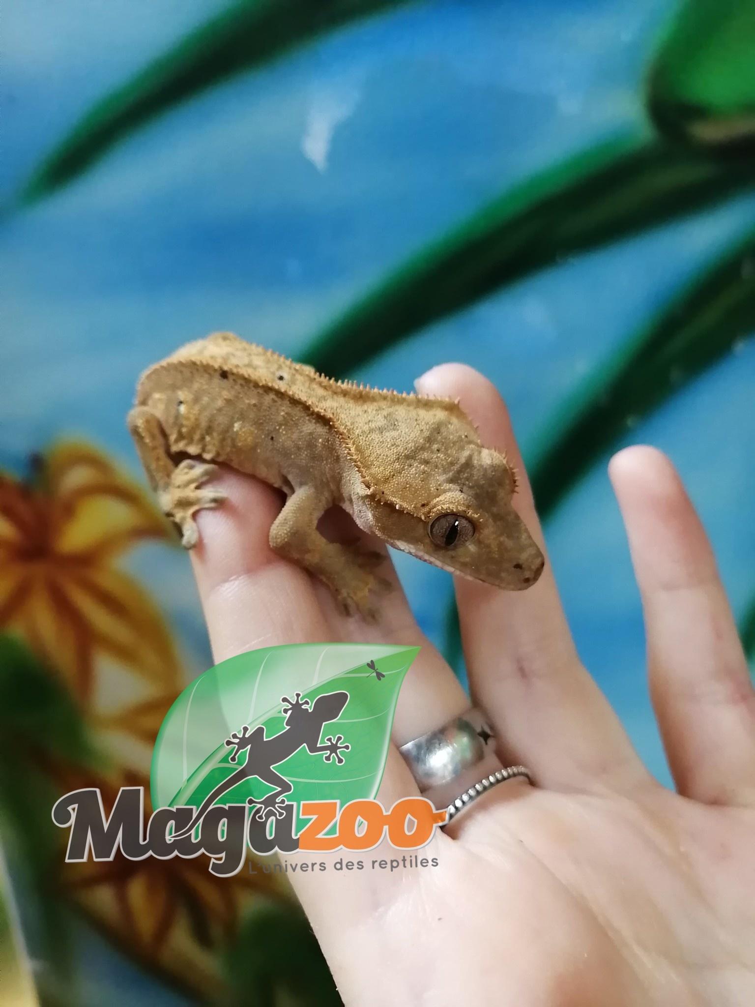Magazoo Gecko à Crête Flame Dalmatien Mâle Juvénile