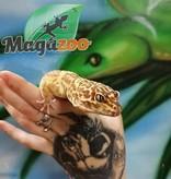 Magazoo Gecko léopard bell albino (Mâle)