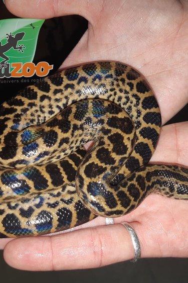 Magazoo Anaconda Jaune femelle
