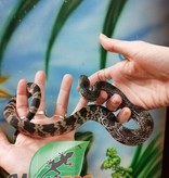 Magazoo Serpent des pins du nord x black Femelle Bébé
