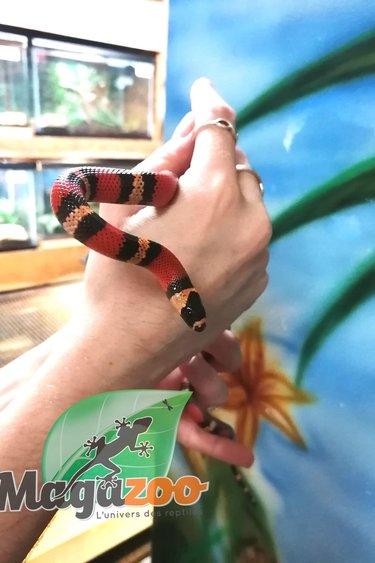 Magazoo Serpent Laitier du Honduras Tangerine Bébé Femelle