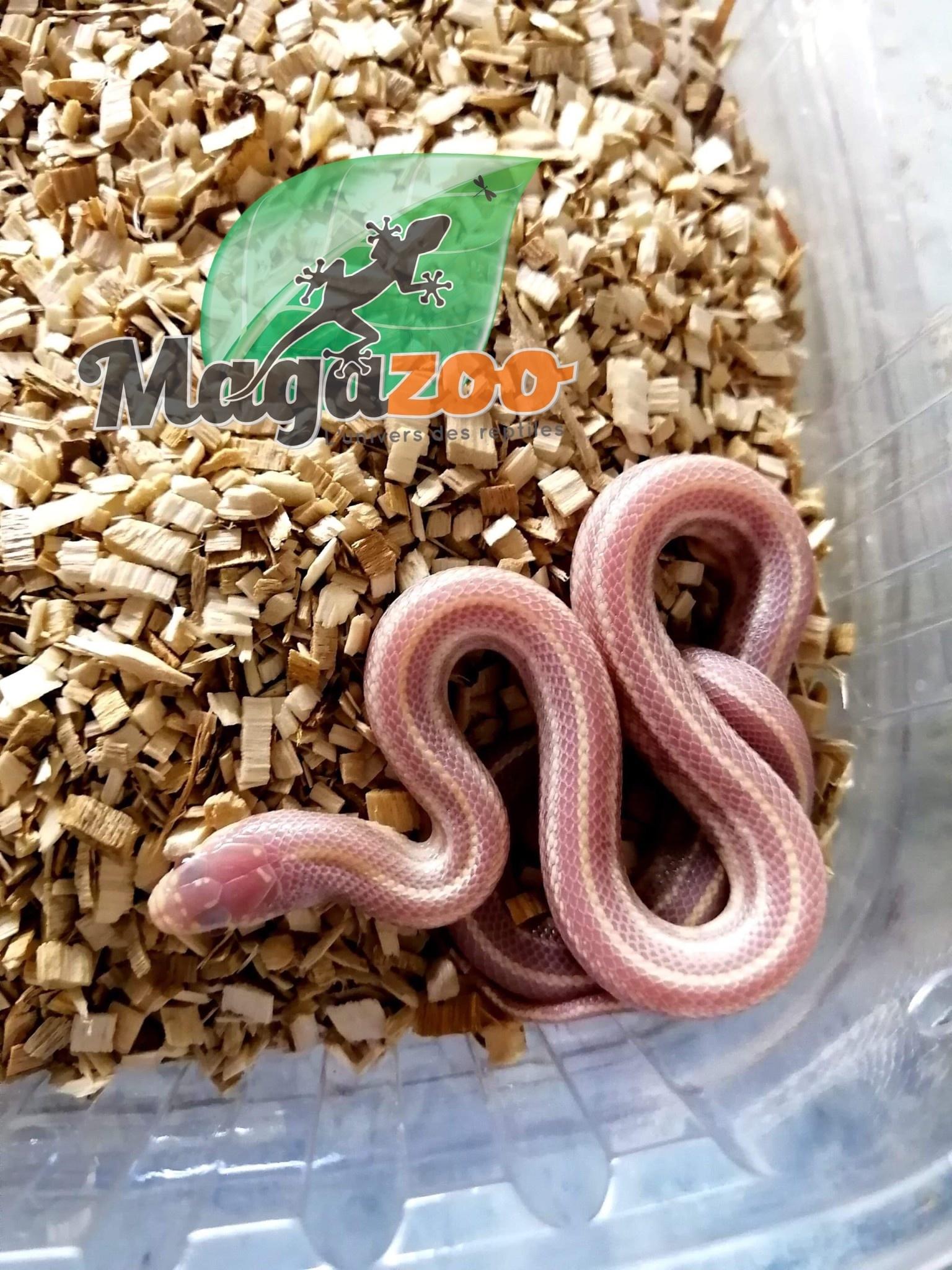 Serpent Roi Lavender Stripe Bébé Femelle