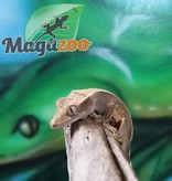 Magazoo Gecko à Crête Patternless Juvénil