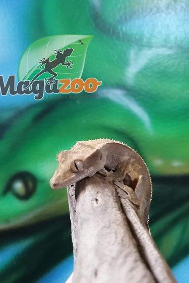 Magazoo Gecko à Crête pinstripe partiel Arlequin Bébé