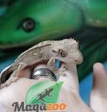 Gecko à Crête Pinstripe Flame Juvénile