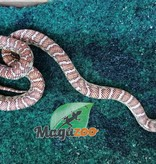 Magazoo Serpent Roi de Floride Hypo Bébé Femelle