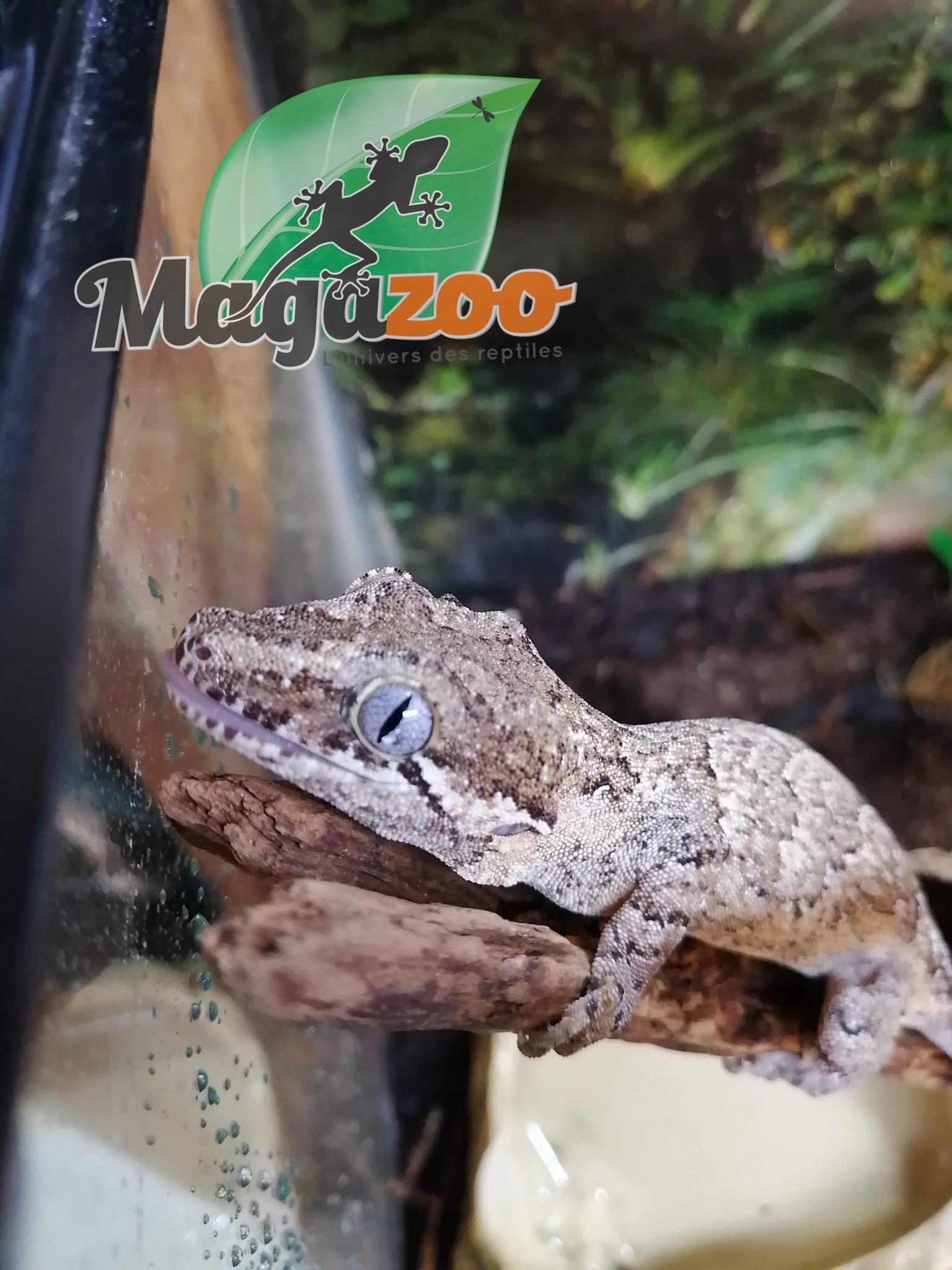 Magazoo Gecko gargouille réticulé  femelle juvenile