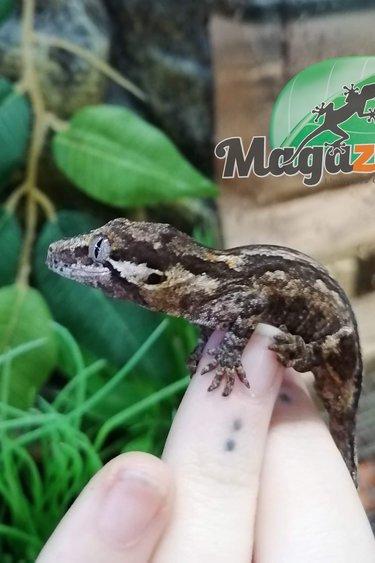 Magazoo Gecko Gargouille stripe (juvenil) femelle