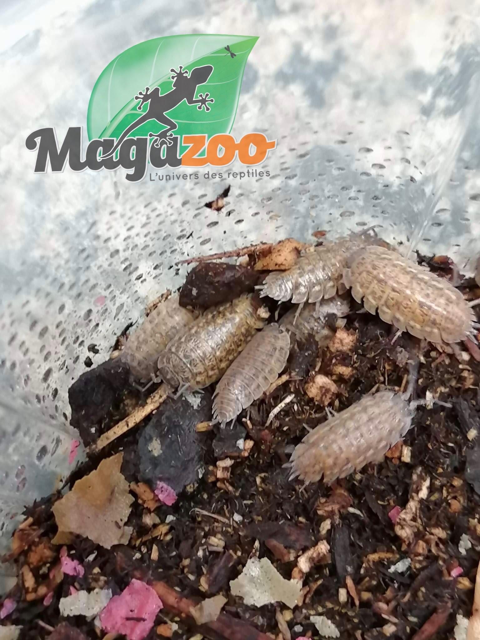 Magazoo Culture de Cloporte Isopod Trachelipus Rathkii 10 pack