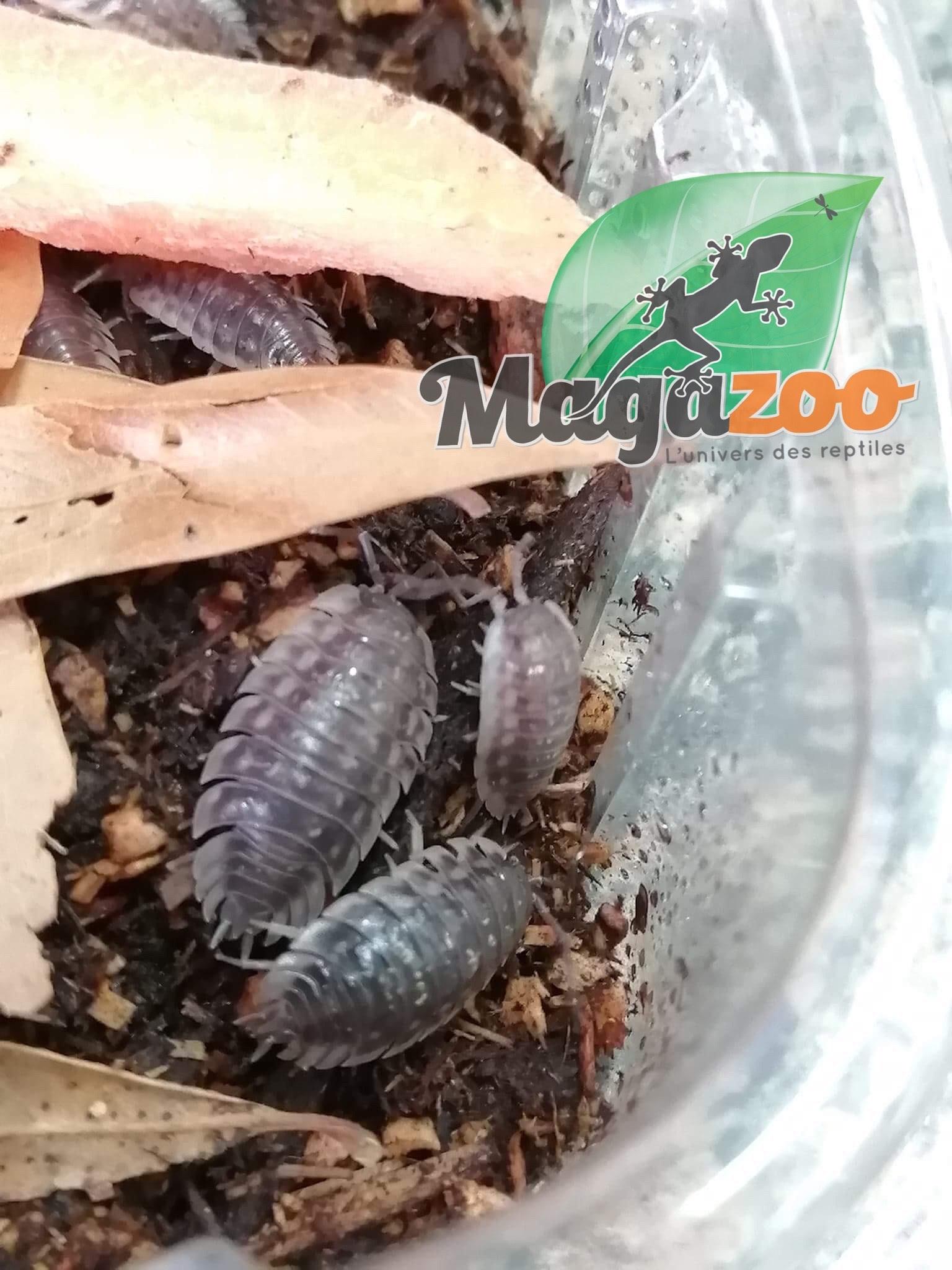 Magazoo Culture de Cloporte Isopod Oniscus Asellus Skirted 10 pack