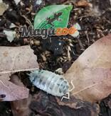 Magazoo Culture de Cloporte Isopod Dairy Cow 10 pack