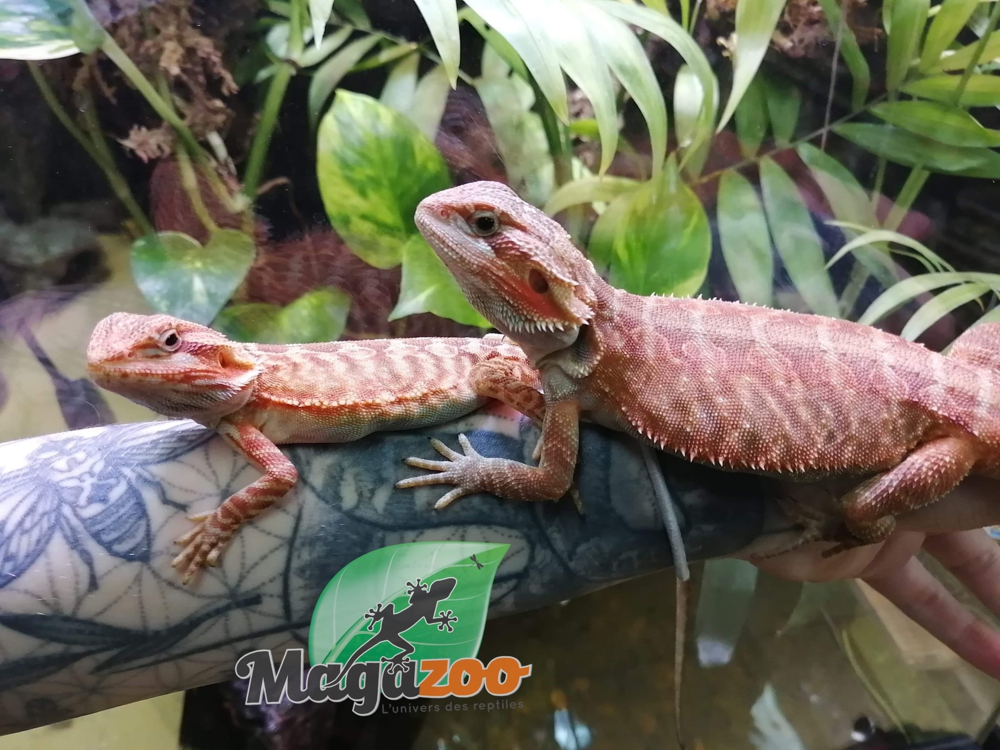 Magazoo Dragon Barbu Leatherback Translucide Orange Femelle