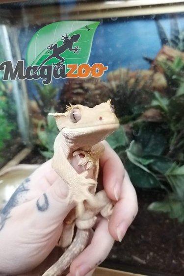 Magazoo Gecko à Crête Flame Arlequin Mâle Adulte