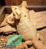 Magazoo Dragon barbu hypo jaune leatherback femelle
