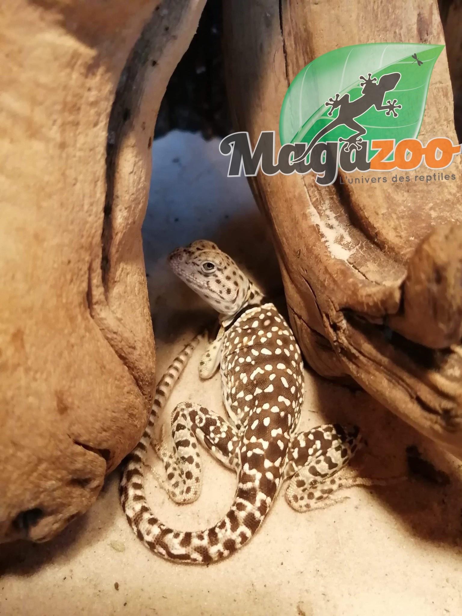 Magazoo Lézard à collier de l'Est Mâle Femelle juvénile (vendu en couple)
