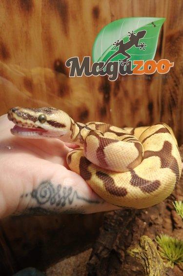 Magazoo Python super Enchi mâle