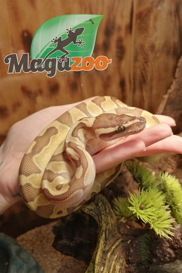 Magazoo Python Butter Enchi femelle