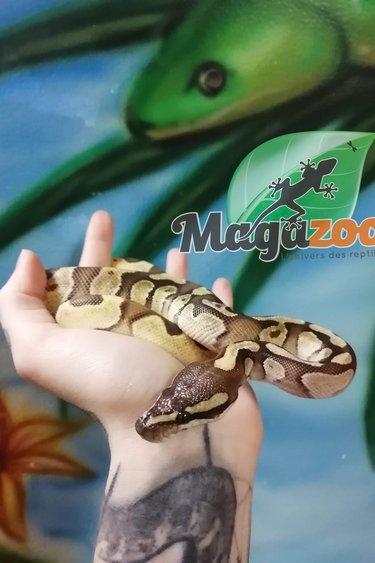 Magazoo Python Mojave Enchi Mâle