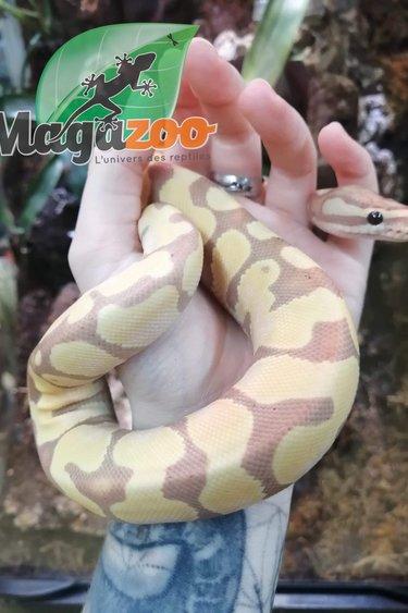 Magazoo Python banana Enchi Mâle (female maker)