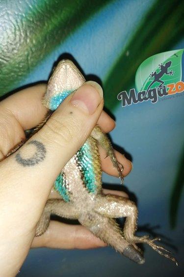 Magazoo Lézard épineux émeraude (Mâle) Adoption - 2ième chance