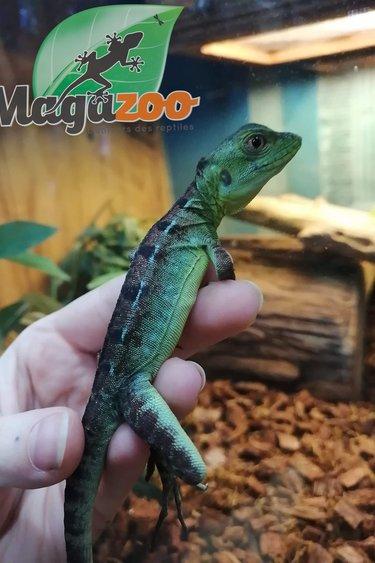 Magazoo Basilic vert Bébé