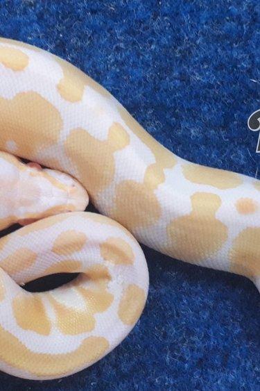 Magazoo Python Royal Albinos (Bébé) Femelle