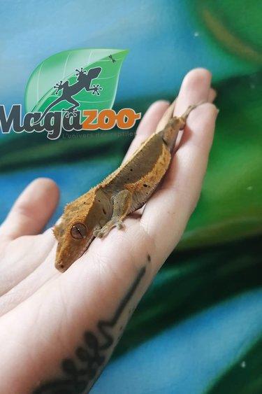 Magazoo Gecko à Crête Arlequin Pinstripe Tiger Dalmatien  juvénile mâle