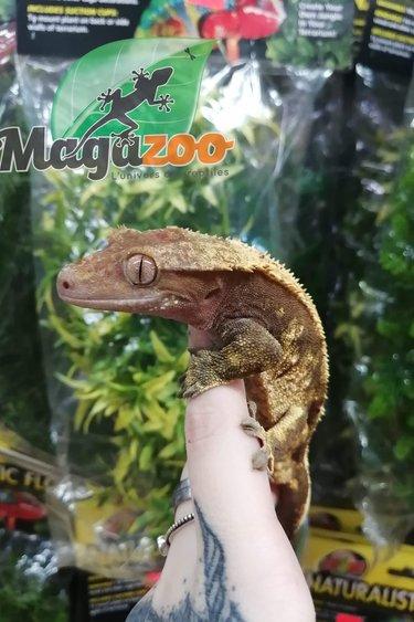 Magazoo Gecko à Crête Arlequin Mâle