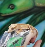 Magazoo Gecko à crête tiger juvenil mâle