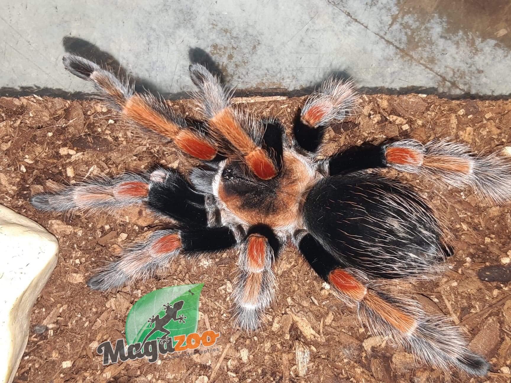 "Magazoo Mygale ""beauté orange"" mexicaine/Brachypelma baumgarteni"