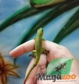 Magazoo Gecko Diurne Géant Bébé
