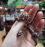 Magazoo Serpent des blés Het-Scaleless Mâle