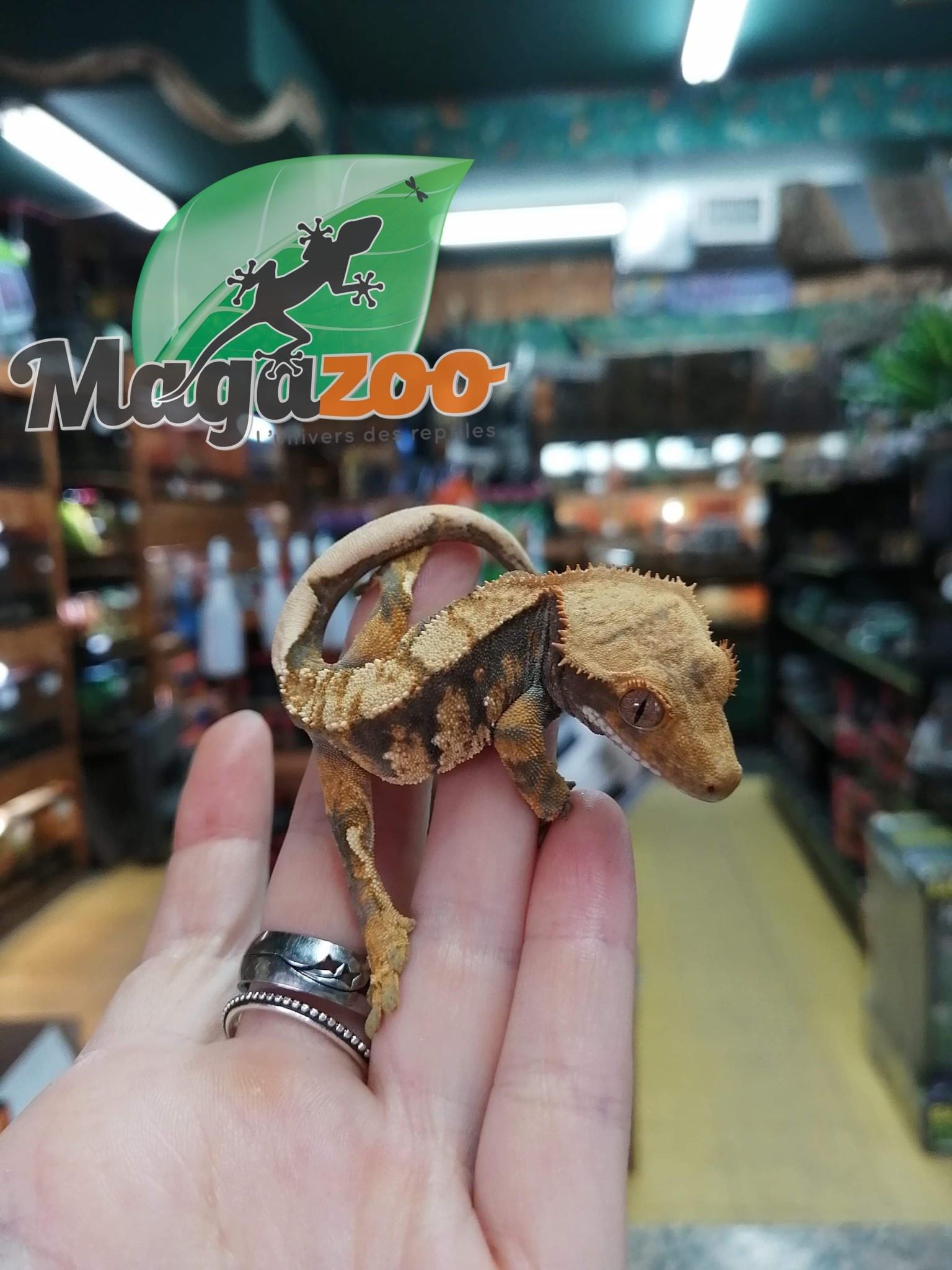Magazoo Gecko à Crête Flame Bébé