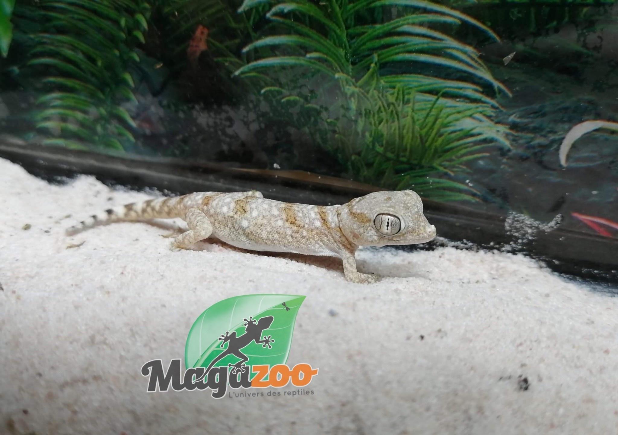 Magazoo Gecko Petri Mâle Juvénile Né en Captivité